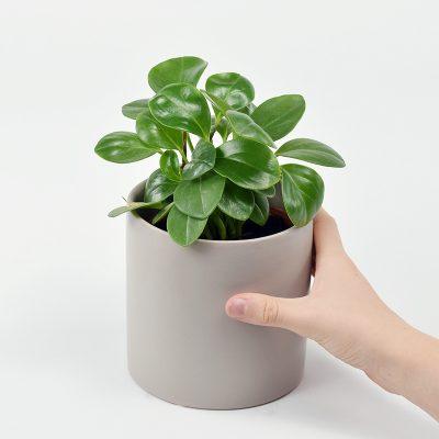Peperomia obtusifolia indoor plant gift