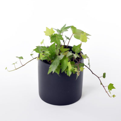 English ivy in ceramic pot