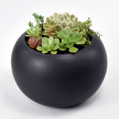 Succulents in Black Ceramic Bowl