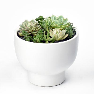 Succulent arrangement in white ceramic pot