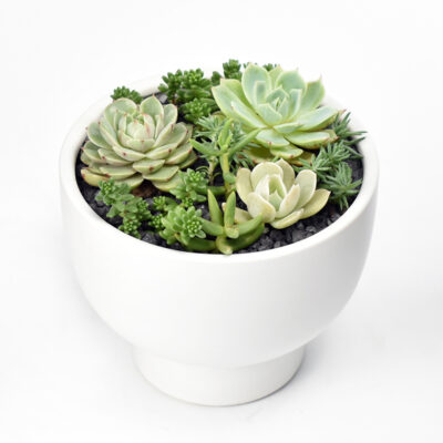Succulent arrangement in white ceramic pot