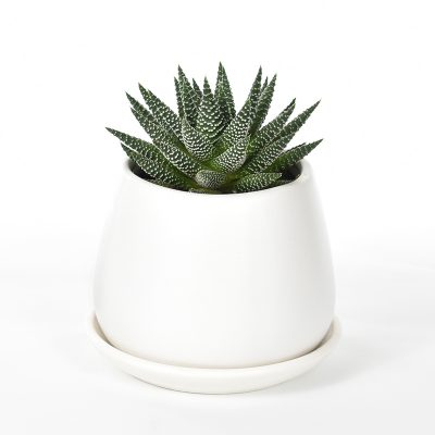 Haworthia in White Ceramic pot and saucer
