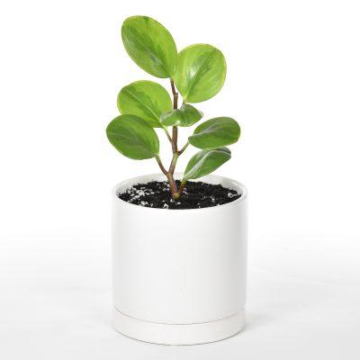 peperomia obtusifolia in white ceramic pot with saucer