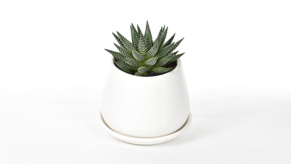 haworthia fasciata succulent plant in white ceramic pot