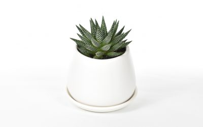 Haworthia – Zebra Plant